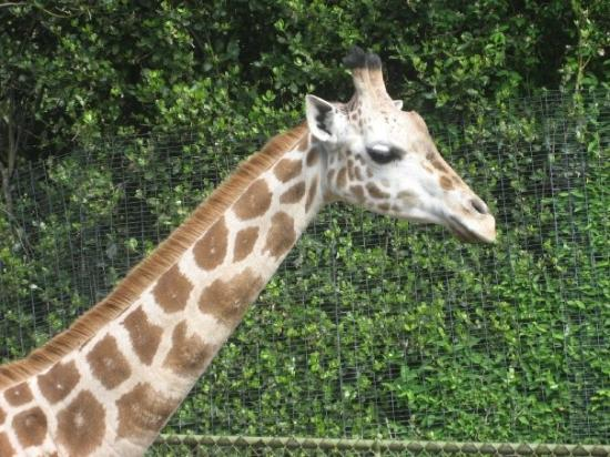 Woodland Park Zoo: Feed The Giraffes! Seattle, WA