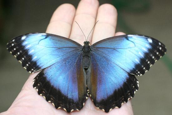 Montegrotto Terme, Italia: Farfalla morpho