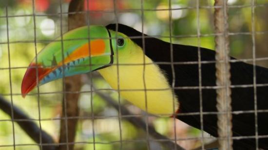 El Valle de Anton, Panama: Jour 21 - Photo d'un toucan qui se trouvait dans la cours de l'hotel. J'ai pu faire plusieurs bo