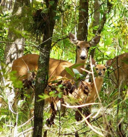 Highlands Hammock State Park: A family of deer - I think Mom, Dad and 2 babies - but  the cover of undergrowth made it difficu