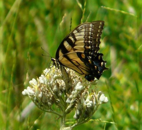 Highlands Hammock State Park: An Eastern Tiger Swallowtail...minus the tails.