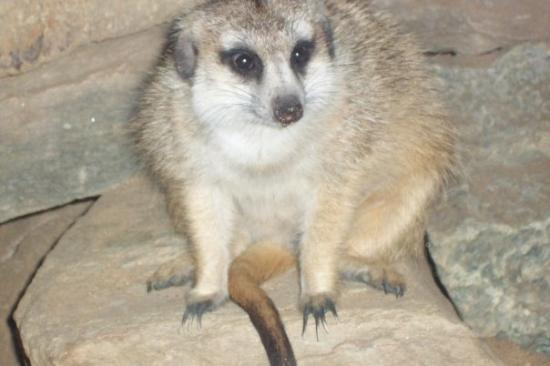 National Zoological Park: My favorite, the Meerkat