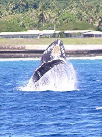A whale jumping out of the water that I took while fishing just off Rarotonga in 2003