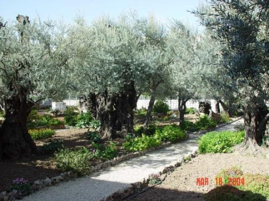 Church of All Nations (Basilica of the Agony): The Garden of Gethsamane with olive trees dating from the time of Christ.