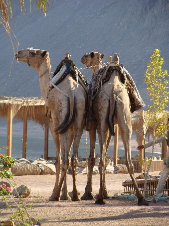 Mirage Tek Divers Dahab: Camels - Lovely and part of the experience