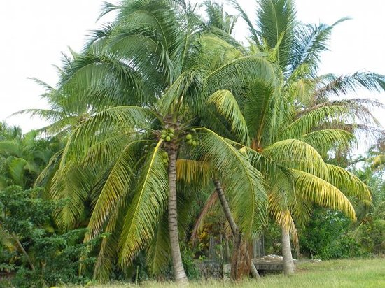 Martinique: Arbres locaux!