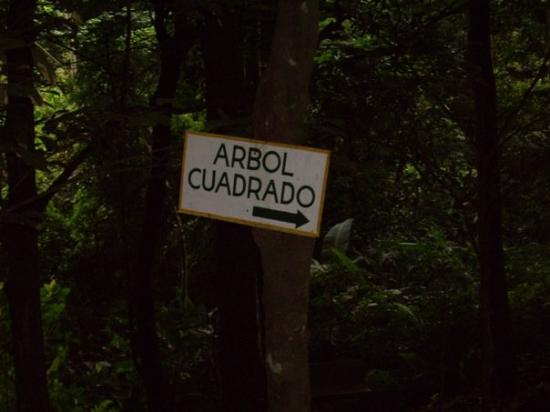 El Valle de Anton, Panama: Square Tree?! Cool!
