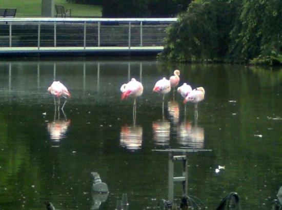 Westfalenpark : The Flamingos at the park.