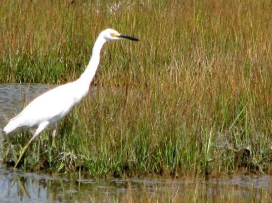 egret.  hammonasset beach state park // madison, connecticut