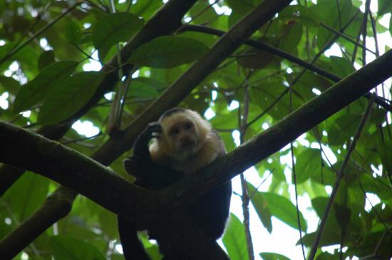 Casa Bambu Resort: Capuccin monkey