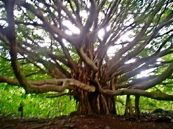 Pipiwai Trail : banyan tree on the way to the falls