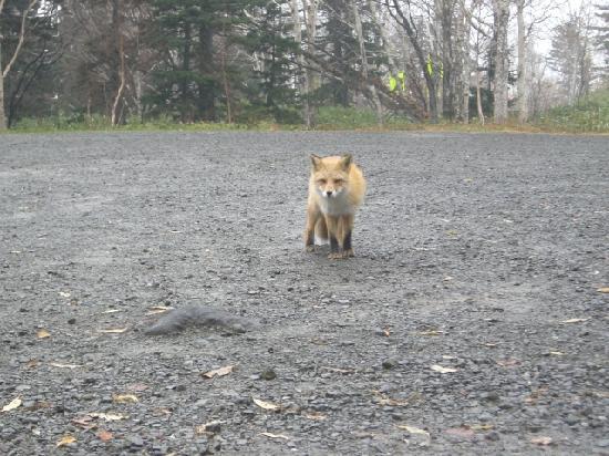 Fukiage Onsen : 野生のキタキツネ
