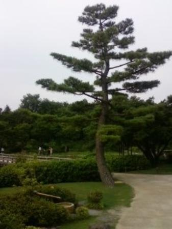 One of the pine trees within the Japanese Garden Picture of