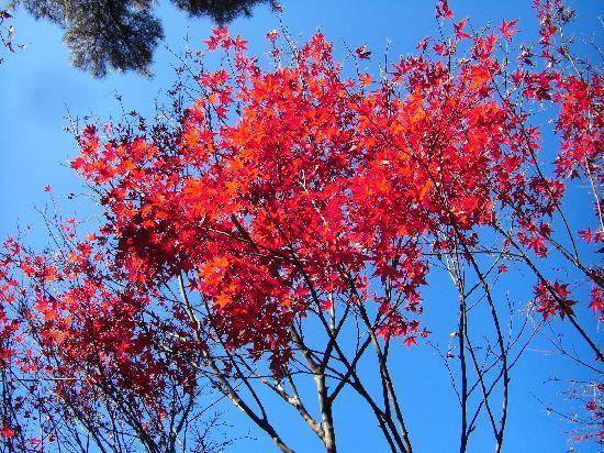Heirin-ji Temple: 青い空に映える深紅の紅葉