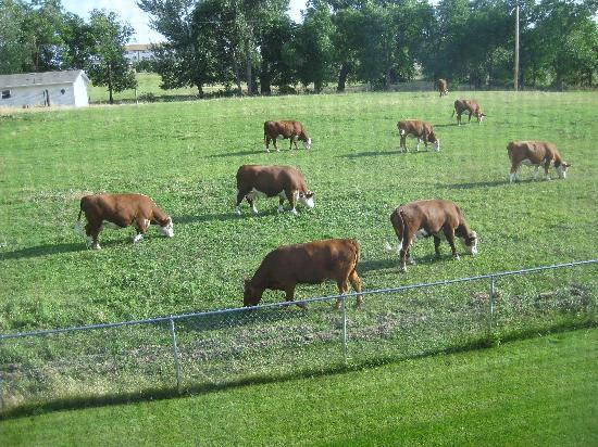 Miles City Hotel & Suites: View of the cows outside our room