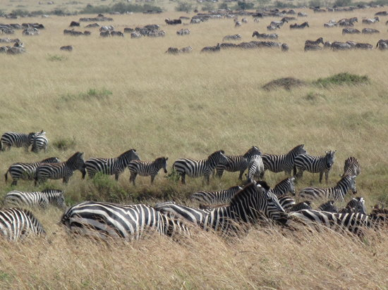Wildlife Kenya Safaris - Day Trips: zebras moving to Mara river