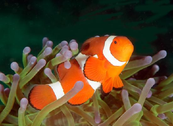 Portofino Beach Resort: Clown Fish