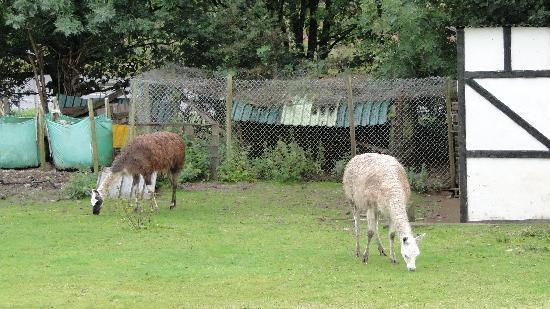 Old Mill Farmhouse: The Llamas