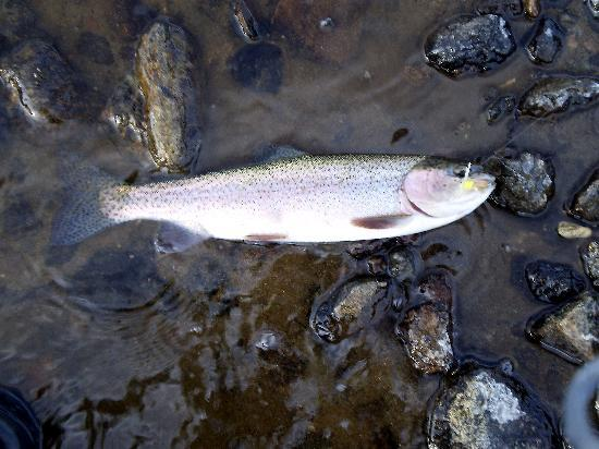 Pioneer Motel: Rainbow Trout below Barnes Hole on the Madison just inside the Park boundry