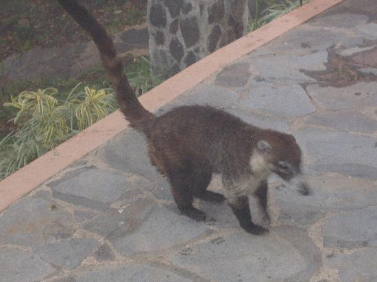 Rainbow Valley Lodge: Coatimundi on our patio...