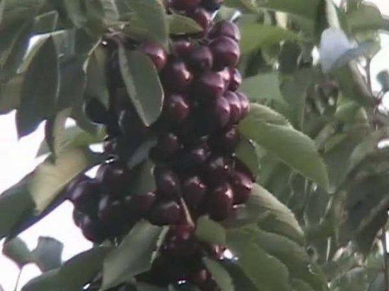 คีโลว์นา, แคนาดา: Cherries Sti ! BC 2005