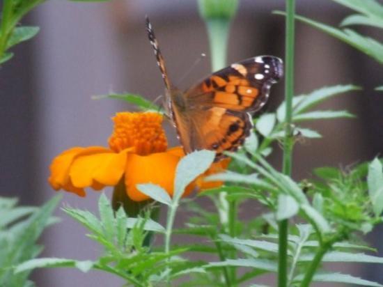 Playa Principal: Orange Moth