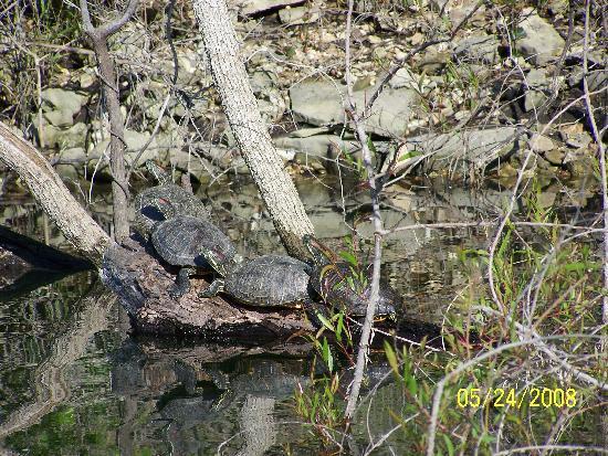 Fish Hook Resort : turtles on a log