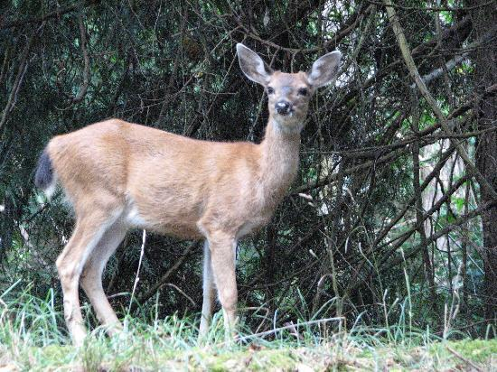 Arbutus Point Oceanfront Bed and Breakfast: Deer by driveway