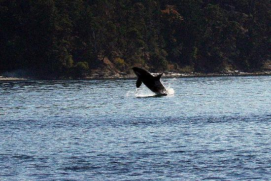 Western Prince Whale & Wildlife Tours: First Breach of the morning!!
