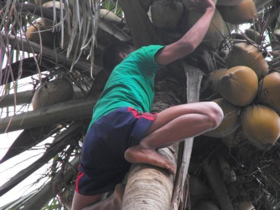 ชวา, อินโดนีเซีย: Cortando los cocos