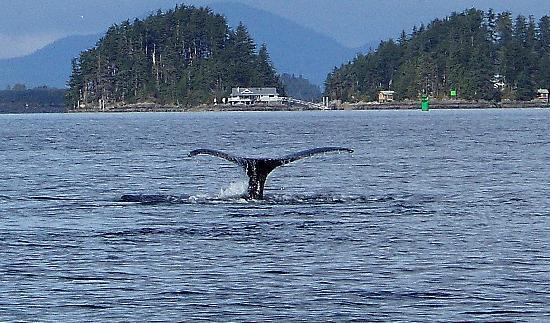 ซิตกา, อลาสกา: Whale tail!!!  :)