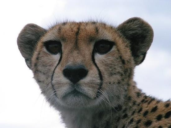 Watamu, Kenia: Keke a famous cheetah from the masai mara