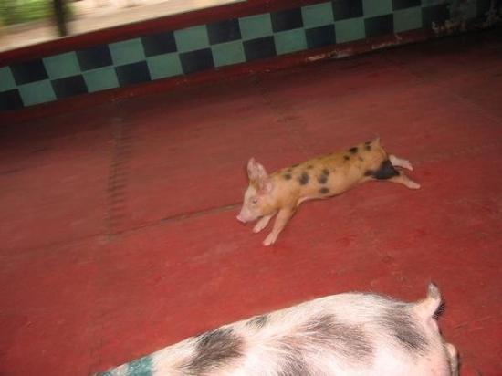 สวนเสือศรีราชา: Pig Races at Tambon Nongkham, Sriracha, Chonburi, Thailand. Last to cross the finish line gets s
