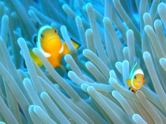 Malasia: Nemo fish