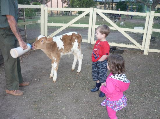 Beaudesert, Austrália: Kids loved feeding the Calf