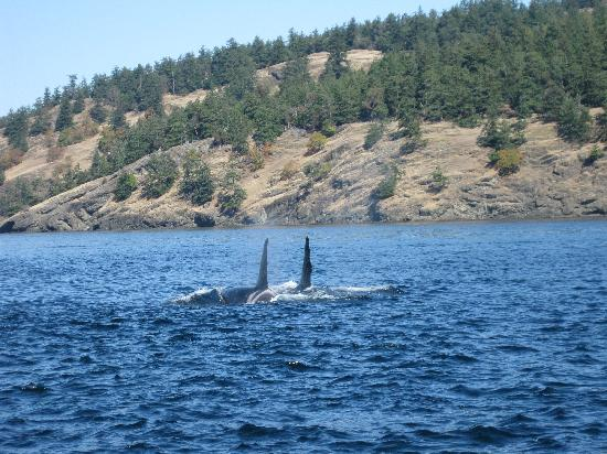 Western Prince Whale & Wildlife Tours: Pair of whales
