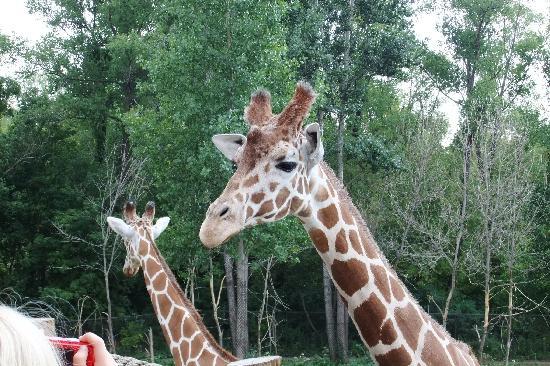 Minnesota Zoo: Giraffes