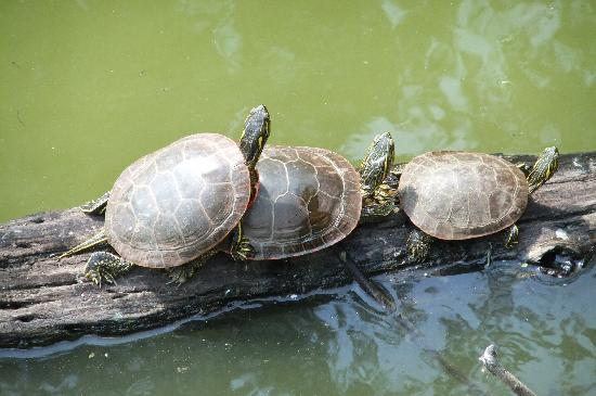 Apple Valley, MN: Turtles