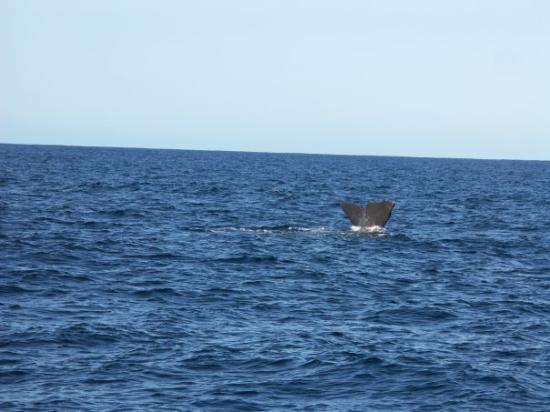 Whale Watch Kaikoura: Another one just disappearing