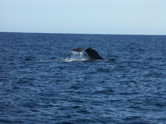 Whale Watch Kaikoura: A sperm whale diving down