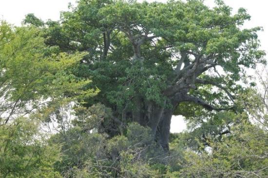 Kruger National Park, Sydafrika: The famous Baobab Tree