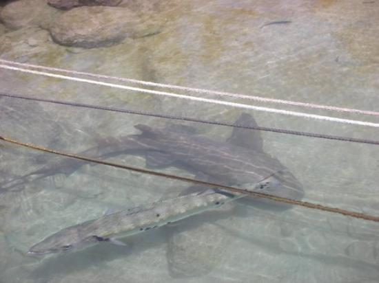 Big Corn Island, นิการากัว: CORN ISLAND, NICARAGUA El tiburón y la barracuda!!!