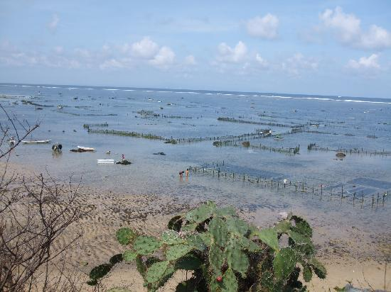 Ellie's : seaweed farming at the nearby Geger beach