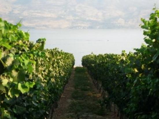 West Kelowna, Canada: Vineyards - who knew this existed in Canada?!