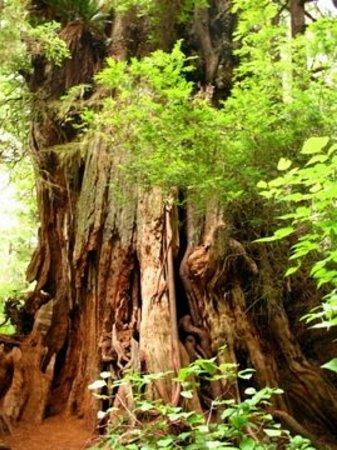 Tofino, Canada: 1500 year-old Cedar