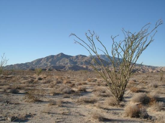 Anza, Kalifornien: My favorite desert plant (besides the Agave) is the Ocotillo