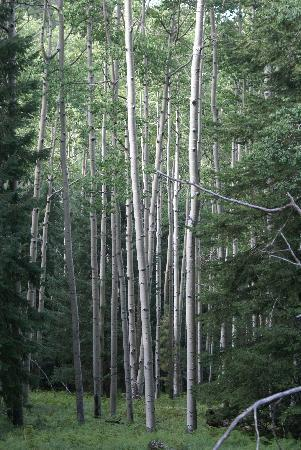 Hannagan Meadow Lodge: Aspen grove in the forest