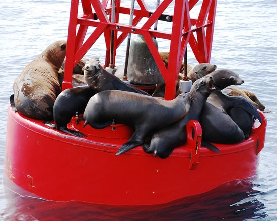 Pantai Newport, CA: Sea lions outside Newport Harbor