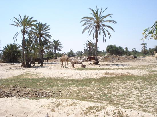 Diar Yassine: horses and camels near hotel