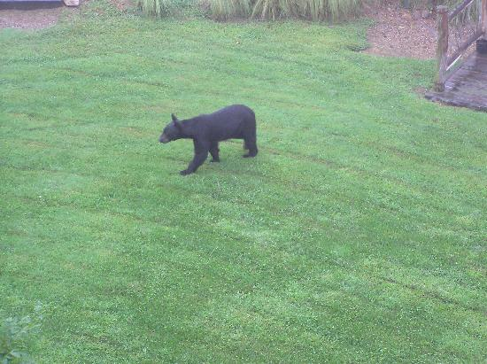 The Lodge at Buckberry Creek: Black bear below our deck